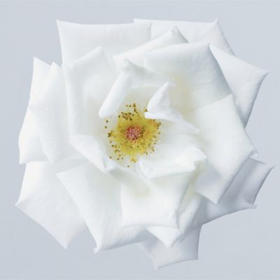 why-flower